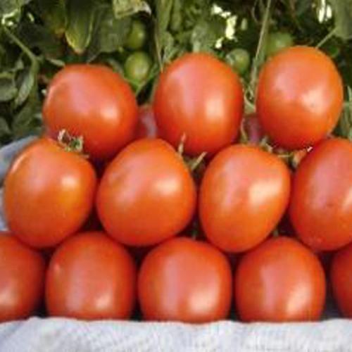 hybrid tomato seeds