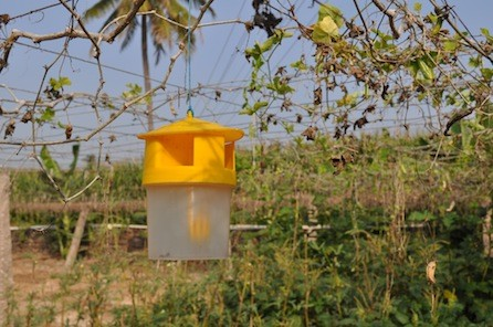 what is a pheromone trap?
