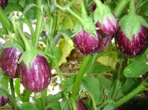 buy organic vegetable seeds online india