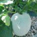Ash Gourd Bharani KGP – Sumashi Seeds