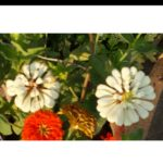 Zinnia Polar Bear White - Pocha Seeds