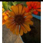Zinnia Canary Bird Yellow - Pocha Seeds