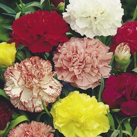 Carnation Chabaud Double – Pocha Seeds