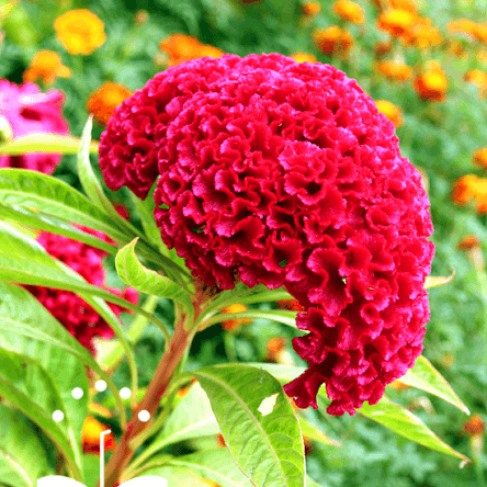 Coxcomb Jewel Box – Pocha Seeds