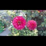 Zinnia Ellegans PInk (Imported) - Pocha Seeds